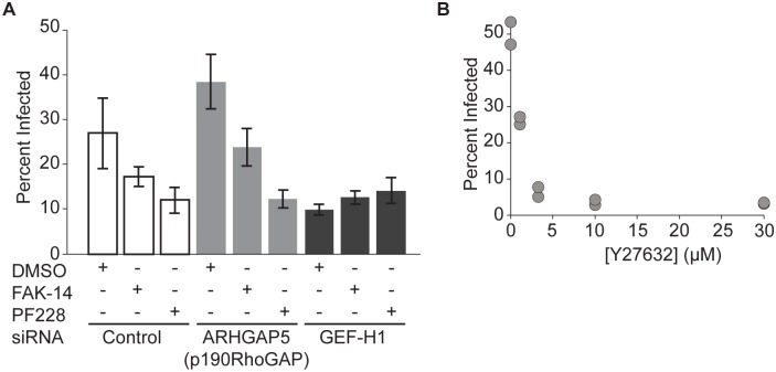 FAK regulates uptake of bacteria by modulating the activity of Rho and Rho kinase. ( A ) Effect of FAK inhibition after siRNA treatment targeting ARHGAP5 (p190RhoGAP), ARHGEF2 (GEF-H1) or non-targeting siRNA controls. DMSO (vehicle control), 10μM FAK-14, or 10μM PF573228 was added 40 minutes prior to infection with JAT983. Infection was analyzed by microscopy (mean +/- SD, n = 4 biological replicates) 8 hours after infection. ( B ) Frequency of infected HUVEC as a function of Y27632 concentration (n = 2 biological replicates). Y27632 was added 30 minutes prior to infection with JAT1045; infection was analyzed by flow cytometry 7–8 hours after infection. Representative data from 1 of 2 independent experiments.