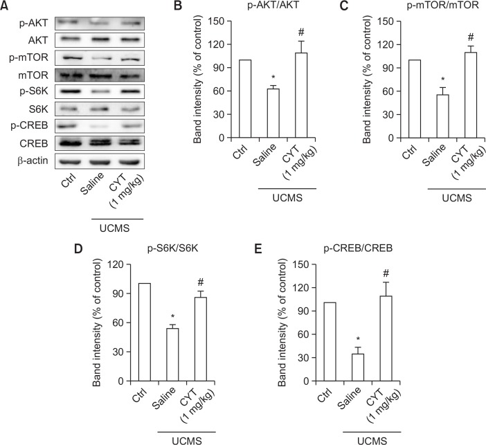 CYT increased mTOR signaling activities in the hippocampus. (A) Representative Western blot of proteins in hippocampus. (B) Treatment of CYT (1 mg/kg) up-regulated the ratio of p-AKT/AKT in UCMS mice. (C) Treatment of CYT (1 mg/kg) up-regulated the ratio of p-mTOR/mTOR in UCMS mice. (D) Treatment of CYT (1 mg/kg) up-regulated the ratio of p-S6K/S6K in UCMS mice. (E) Treatment of CYT (1 mg/kg) up-regulated the ratio of p-CREB/CREB in UCMS mice. n=6/group. * p
