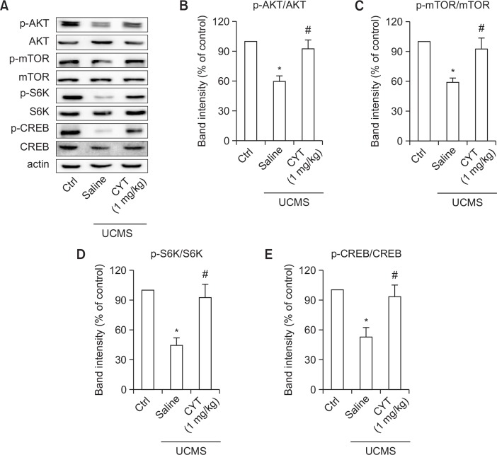 CYT increased mTOR signaling activities in the amygdala. (A) Representative Western blot of proteins in amygdala. (B) Treatment of CYT (1 mg/kg) up-regulated the ratio of p-AKT/AKT in UCMS mice. (C) Treatment of CYT (1 mg/kg) up-regulated the ratio of p-mTOR/mTOR in UCMS mice. (D) Treatment of CYT (1 mg/kg) up-regulated the ratio of p-S6K/S6K in UCMS mice. (E) Treatment of CYT (1 mg/kg) up-regulated the ratio of p-CREB/CREB in UCMS mice. n=6/group. * p