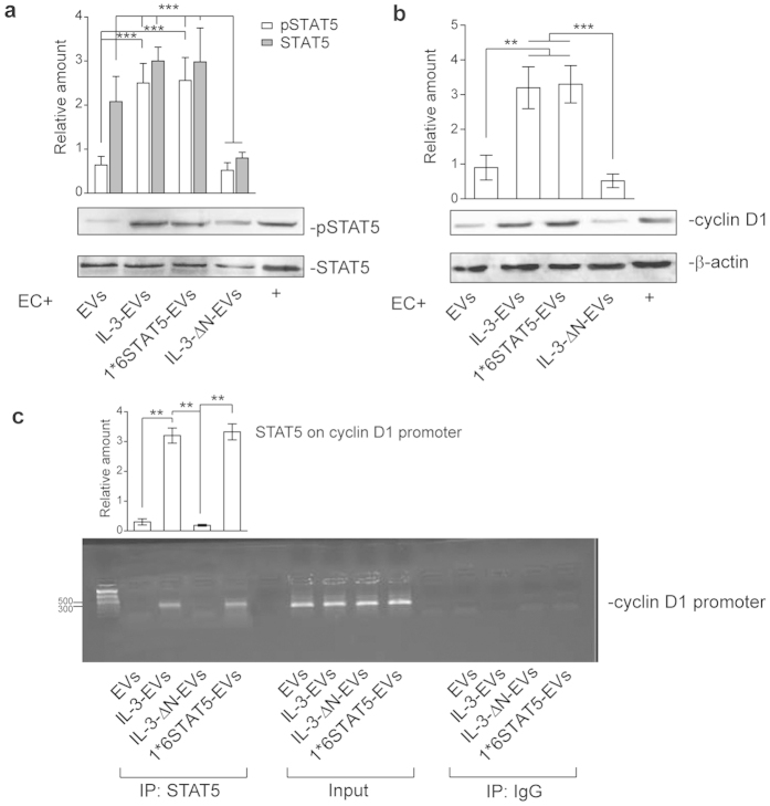EV pSTAT5 content leads to the formation of a STAT5/cyclin D1 transcriptional complex. (a , b) Cell extracts from ECs treated with EC-derived EVs, as indicated, were analyzed for pSTAT5 and STAT5 ( a ) or for cyclin D1 ( b ) and β -actin content. The results are representative of four different experiments performed in triplicate ( n = 4) (*** p