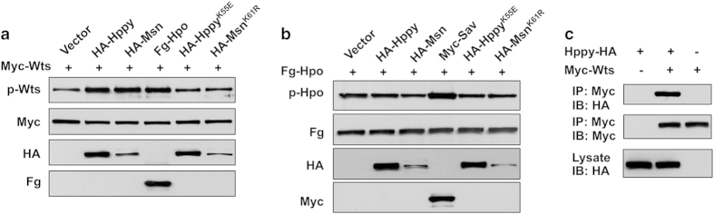 Hppy and Msn promote phosphorylation of Wts but not <t>Hpo.</t> ( a , b ) Western blot analysis of cell lysates derived from S2 cells expressing the indicated constructs. Hppy, Msn, as well as Hpo stimulated phosphorylation of Wts at T1077, which was recognized by a phospho-specific antibody p-Wts ( a ). By contrast, neither Hppy nor Msn stimulated phosphorylation of Hpo at T195 recognized by a phospho-specific antibody <t>p-Hpo/MST1/2</t> ( b ). ( c ) Hppy formed a complex with Wts in S2 cells as revealed by a co-immunoprecipitation assay.