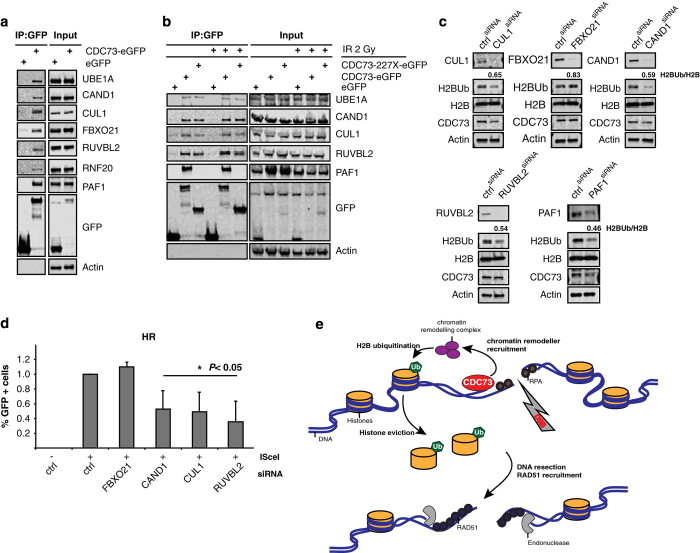 CDC73 interacts with a number of chromatin-remodeling factors. ( a ) Co-IP with CDC73 confirmed its interaction with UBE1A, CAND1, CUL1, FBXO21, KU86, RUVBL2 and RNF20. PAF1 serves as a positive control and actin as a negative control. ( b ) The interactions are unchanged on IR treatment (2 Gy). ( c ) siRNA-mediated silencing of FBXO21, RUVBL2, CAND1, CUL1 and PAF1 leads to a decrease in H2BK120Ub. Ratios H2BK120Ub:H2B are indicated. ( d ) siRNA knockdown of CAND1, CUL1 and RUVBL2 leads to a similar decrease in homologous recombination repair as CDC73 knockdown (s.d. of average; more than three repeats). ( e ) Model describing the mode of action of CDC73 at DSB. CDC73 recruits chromatin-remodeling components that mediate H2BK120Ub and subsequent eviction of H2B from chromatin. The decondensed state of the chromatin allows repair enzymes to engage with DNA and proceed with resection and downstream DNA repair.