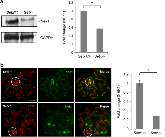 NNIMA (never in mitosis gene a)-related kinase 1 (NEK1) localization and protein levels are disrupted in the absence of senataxin. ( a ) Immunoblotting from testes extracts revealed a decrease in NEK1 protein levels in Setx −/− as compared with Setx +/+ spermatocytes. <t>α-Tubulin</t> was used as a loading control. Quantitation of NEK1 band intensity staining (shown as fold change) in Setx +/+ and Setx −/− . ( b ) NEK1 was observed to localize specifically to the axial element of the autosomes with a stronger intensity on the XY chromosomes in Setx +/+ spermatocytes, whereas NEK1 in Setx −/− spermatocytes was not associated with the XY chromosomes but was scattered throughout the nucleus. Quantitation of NEK1 fluorescence intensity staining (shown as fold change) in Setx +/+ and Setx −/− . Scale bar, 20 μm. Dotted circle, XY chromosomes. All data were plotted as the mean±s.d. Statistical analysis was performed using the Student's t -test, * P