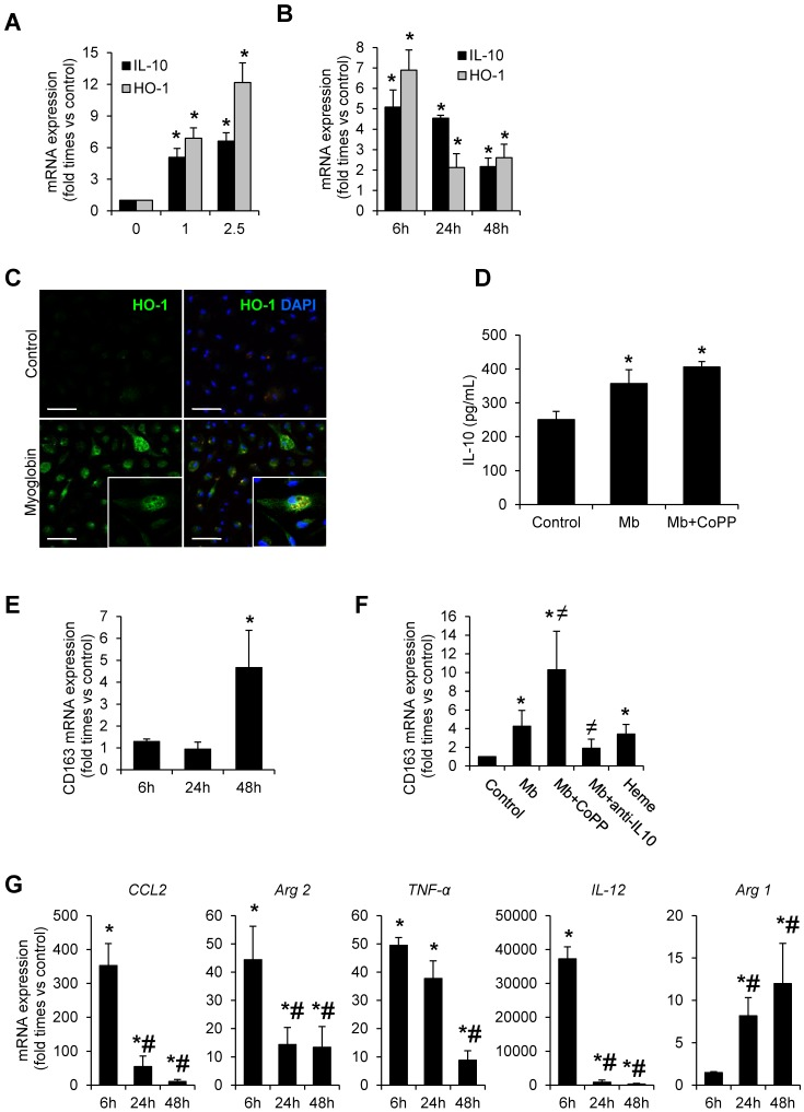 Myoglobin induces CD163 expression in mouse peritoneal macrophages through HO-1 and <t>IL-10</t> induction. Macrophages were isolated from the mouse peritoneal cavity and treated with myoglobin (Mb) (0-2.5 mg/mL) for 48h. Dose- ( A ) and time-( B ) enhanced mRNA expression of IL-10 and HO-1, as determined by real time RT-PCR, in myoglobin-treated macrophages. ( C ) Representative confocal microscopy images showing enhanced HO-1 expression in macrophages treated with myoglobin (1mg/mL) for 24h. Scale bar 50 µM ( D ) IL-10 release was determined by <t>ELISA</t> in cell supernatants. ( E - F ) Expression of CD163 in macrophages treated with myoglobin (1mg/mL) or equimolar concentration of heme (60µM) for 48h in presence or absence of the HO-1 inducer CoPP or an IL-10 blocking antibody (1µg/mL), as determined by RT-PCR. ( G ) Expression of M1 (CCL2, Arg2, TNF-α, IL-12) and M2 markers (Arg1) in macrophages stimulated with myoglobin (1mg/mL), as determined by RT-PCR. Results are expressed as mean±SE of at least three independent experiments. * p