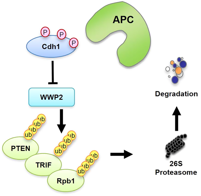 A schematic illustration of the proposed model of how Cdh1 exerts its tumor suppressor role in part by the negative regulation of WWP2 E3 ligase activity to stabilize <t>PTEN</t> and to suppress the oncogenic Akt signaling. In most cancer cells, where Cdh1 is largely APC-free due to relatively high Cdk activity, Cdh1 mainly directly binds and inhibits WWP2, which leads to the accumulation of various WWP2 substrates including PTEN, <t>TRIF</t> and Rpb1. But further phosphorylation of Cdh1 by Cdk and Plk promotes Cdh1 degradation and the loss of Cdh1 eventually leads to PTEN destabilization and subsequent Akt activation to facilitate tumorigenesis. APC, anaphase-promoting complex/cyclosome.