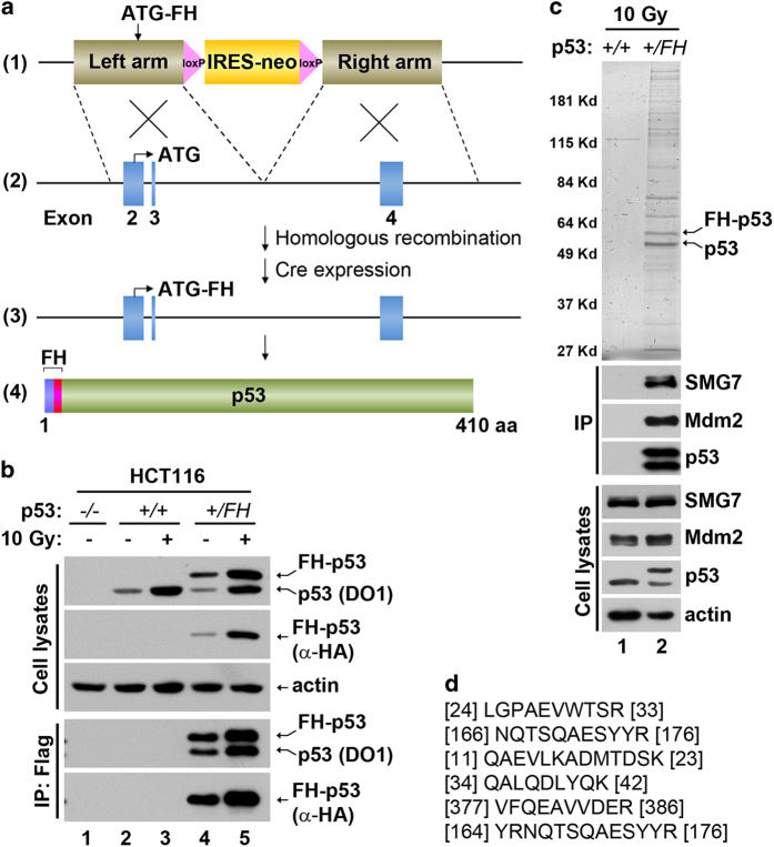 Identification of SMG7 as a p53-associated protein. ( a ) Scheme of AAV-mediated epitagging of p53 : (1) AAV- p53 targeting vector; (2) wild-type p53 allele; (3) modified p53 allele containing the Flag-HA cassette; (4) FH-tagged p53 polypeptide. See details of generation of HCT116 p53 +/FH cells in Materials and Methods. ( b ) Cell extracts from control or irradiated cells (10 Gy, 4 h) and the corresponding α-Flag immunoprecipitates were analyzed with western blot analysis using antibodies as indicated. ( c ) Silver staining of affinity-purified p53-containing protein complex from irradiated cells (upper panel). Cell extracts and the Flag/HA immunoprecipitates were analyzed with western blot analysis using antibodies as indicated. ( d ) Several representative SMG7 peptide sequences identified using mass spectrometric analysis. Numbers indicate the overlapping position of the peptides with SMG7 sequence (NP_963862).