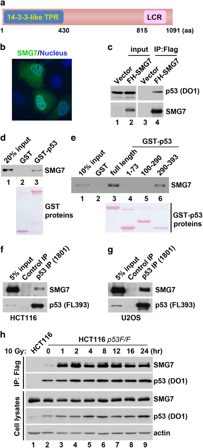 In vitro and in vivo interactions between SMG7 and p53. ( a ) Scheme of human SMG7 protein containing the N-terminal 14-3-3-like Tetratricopeptide repeat (TPR) and C-terminal low complex region. ( b ) Immunofluorescence microscopy of H1299 cells transiently expressing FH-SMG7 stained with α-HA antibody (green) and 4,6-diamidino-2-phenylindole (DAPI; blue). ( c ) Cell extracts from H1299 cells transiently expressing p53 with or without FH-SMG7 and the α-Flag immunoprecipitates were analyzed using western blot using α-SMG7 and α-p53 antibodies. ( d , e ) SMG7 binding to p53 in vitro . GST or GST-p53 fusion proteins (full length or various fragments) were used in pulldown assays with purified FH-SMG7 ( d ) or in vitro translated FH-SMG7 ( e ). FH-SMG7 was detected by western blot and GST proteins stained with Ponceau S. ( f , g ) Endogenous interaction of SMG7 with p53 in HCT116 ( f ) and U2OS cells ( g ). Cell extracts and the α-normal mouse IgG or α-p53 immunoprecipitates were analyzed with western blot analysis using α-SMG7 and α-p53 antibodies. ( h ) Cell extracts from control or irradiated cells (at various time points) and the α-Flag immunoprecipitates were analyzed with western blot analysis using antibodies as indicated.
