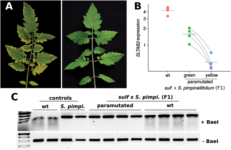SLTAB2 paramutation in the cross between a heterozygous sulf /+ and S. pimpinellifolium . (A) Phenotypes of a paramutated (left) and wild-type leaf (right) in the F1. (B) SLTAB2 expression in the F1. Paramutated plants showed reduced expression in the green sectors compared with wt plants ( P =7.8e-4, two-tailed t test), and even further reduction in the chlorotic sectors ( P =6.6e-3, paired t test between green and yellow samples). Data are plotted on a log 2 scale, the mean is represented by a horizontal bar. Paired data points for paramutated plants (green and yellow sectors) are joined by grey lines. (C) Only the S. pimpinellifolium SLTAB2 allele is expressed in paramutated F1 plants. The S. lycopersicum allele is sensitive to digestion by the BaeI restriction enzyme, resulting in a smear. Two SNPs in the S. pimpinellifolium SLTAB2 allele make it resistant to BaeI treatment. F1s expressing the S. lycopersicum allele show a smear, whereas F1s in which the S. lycopersicum allele is silent do not.