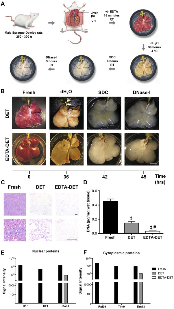 Decellularization of the rat liver is achieved following one cycle of DET and EDTA-DET treatments. (A) Timeframe and infusion of solutions for the DET and EDTA-DET protocols. (B) Macroscopic appearance of the liver scaffolds showed no difference between the DET and EDTA-DET scaffolds. Following dH 2 O addition, the livers became blanched, with SDC and DNase addition resulting in the livers becoming transparent. (C) H E staining demonstrated absence of cells in sections from DET and EDTA-DET scaffolds. (D) DNA quantification reduced DNA in DET and EDTA-DET scaffolds compared with fresh tissue (p