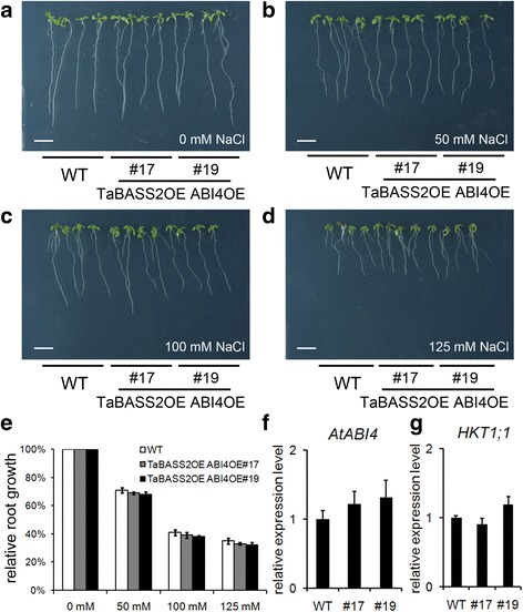 The enhanced salinity tolerance in 35S::TaBASS2 Arabidopsis plants relies on ABI4 suppression. a - d The wild-type seedlings and two transgenic lines constitutively expressing both TaBASS2 and ABI4 (TaBASS2OE ABI4OE #17 and #19) after a ten-day treatment with 0, 50, 100 or 125 mM NaCl. Bar = 1 cm. e Relative root growth of the wild-type and TaBASS2OE ABI4OE seedlings. Error bars represent the standard errors ( n = 3), with each replicate comprising at least 30 seedlings. f , g The expression levels of ABI4 ( f ) and HKT1;1 ( g ) in the wild-type and TaBASS2OE ABI4OE seedlings. Error bars represent the standard errors ( n = 3), with each replicate comprising at least 12 seedlings. The expression levels were determined by RT-qPCR using AtACT2 in Arabidopsis as the internal control