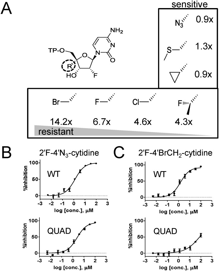 Effect of the QUAD mutations on the discrimination of 2'F-CTP analogs. ( A ) Measurement of resistance level of QUAD RSV L-P against a series of 2'F-CTP analogs with the following substitution at the 4'position: chloromethyl (ClCH 2 ), fluoromethyl (FCH 2 ), bromomethyl (BrCH 2 ), 1-fluoroethyl (FCH 3 CH 2 ), azido (N 3 -), cyclopropyl (CH 2 CH 2 CH 2 ), and methyl-thio-methyl (CH 3 SCH 2 ). For each CTP analog, the level of resistance was calculated as described for Fig 1 (n = 2). ( B ) In vitro inhibition potency of 2'F-4'N 3 -cytidine against the RSV minigenome luciferase-based reporter assay. HEp-2 cells were co-transfected to transiently express the RSV N, P, M2-1 and L proteins containing either the WT or the QUAD mutated L sequence (n = 4). ( C ) Inhibition of luciferase-based WT and QUAD RSV minigenome activity by 2'F-4'BrCH 2 -cytidine (n = 4).