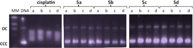 Electrophoresis mobility shift assays for cisplatin and heterometallic Ti–Au compounds 5a – d (see the Experimental Section for details). <t>DNA</t> refers to untreated plasmid <t>pBR322.</t> a , b , c , and d correspond to metal/DNA bp ratios of 0.25, 0.5, 1.0, and 2.0, respectively.