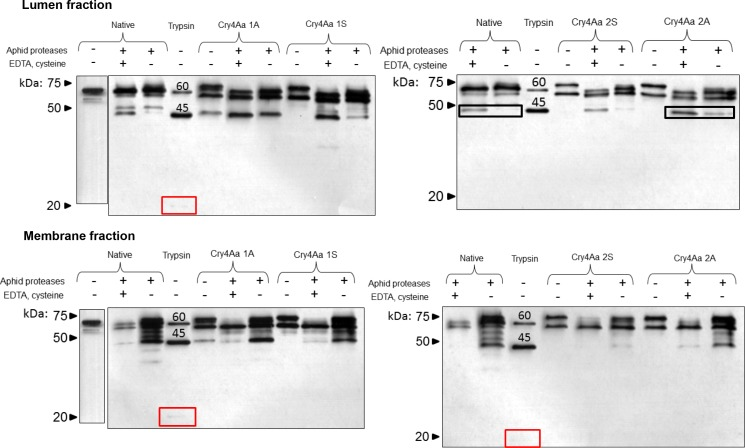 In vitro activation of modified Cry4Aa by aphid gut proteases. Toxins were incubated with the lumen or membrane extracts from the pea aphid gut and hydrolyzed products detected by western blot using Cry4Aa antibodies. Toxin activation profiles were generated in the presence or absence of cathepsin activators (EDTA and cysteine, 3 mM) as indicated. Native Cry4Aa with or without digestion with 5% (w/w) trypsin, and modified Cry4Aa not exposed to proteases or activators were included as controls. Native; native Cry4Aa. Trypsin; native Cry4Aa exposed to 5% w/w trypsin, positive control. Boxes show the faint 20 kDa bands seen on trypsin digestion of native Cry4Aa, and comparison of 45 kDa band lumen fraction degradation products of native Cry4Aa and Cry4Aa 2A toxins.