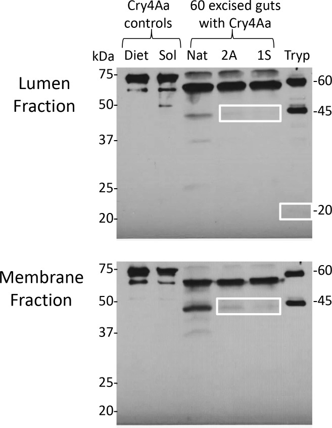 Detection of modified Cry4Aa following exposure to cathepsins in the aphid gut. Aphids were fed overnight, and lumen and membrane fractions from dissected guts were separated by SDS-PAGE and analyzed by western blot for toxin profiles. A second replicate of 57 aphid guts yielded similar results in the lumen fraction. Native Cry4Aa controls: diet—Cry4Aa exposed to aphid diet overnight. Sol, Cry4Aa solubilized in PBS pH 7.4. Tryp, native Cry4Aa exposed to 5% w/w trypsin, (positive control). Nat, native Cry4Aa. Note: none of the controls were exposed to aphid gut proteases. Boxes highlight faint 45 and 20 kDa toxin bands.