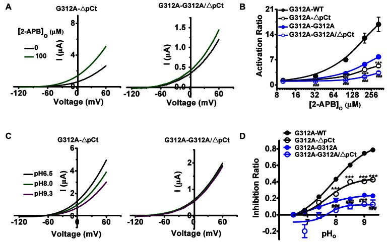 The effects of further introduction of G312A and ΔpCt, either individually or simultaneously, into the WT subunit of G312A-WT on the gating processes induced by 2-APB and extracellular alkalization. (A) Exemplar current-voltage recordings from oocytes expressing G312A-ΔpCt and G312A-G312A/ΔpCt channels in the presence of 100 μM 2-APB. (B) Concentration responses of indicated channels activated by 2-APB. *** p
