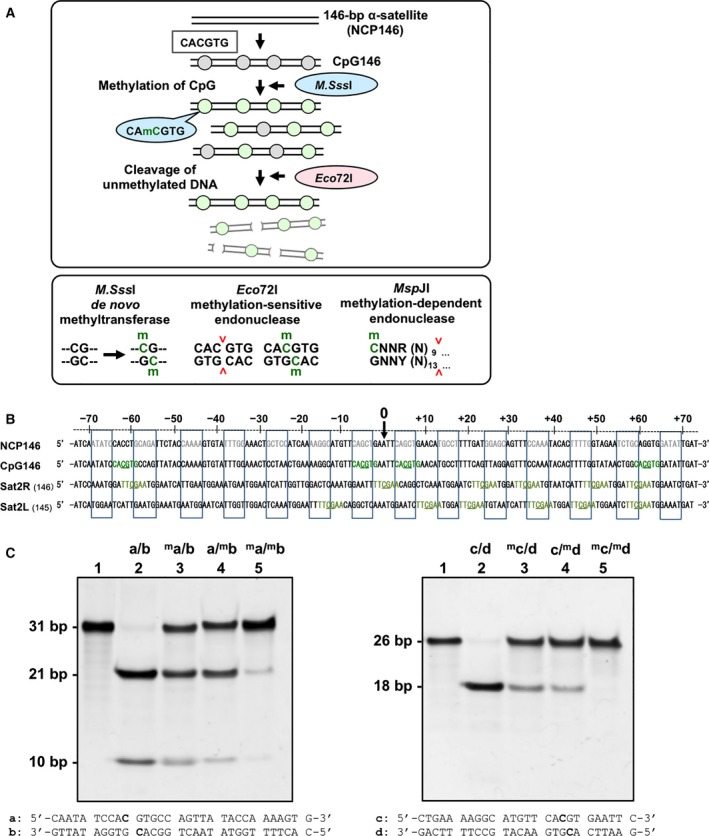 CpG methylation of nucleosomal <t>DNA.</t> (A) Scheme for the preparation of CpG‐methylated nucleosomal DNA. The 146‐bp human α‐satellite nucleosomal DNA 18 was mutated to contain four CpG dinucleotide‐containing CACGTG sequences, which are recognized by the methylation‐sensitive restriction enzyme Eco72 I. The DNA designated as CpG146 is biochemically methylated by <t>M.Sss</t> I, and then digested by Eco72 I, which is a CpG methylation‐sensitive restriction endonuclease for the CACGTG sequence. The full‐length 146‐bp nucleosomal DNA is methylated by M.Sss I, and a portion of the methylated DNA is examined by a digestion with Eco 72I before the NCP reconstitution. (B) Sequences of nucleosomal DNAs used for crystal structure analyses. NCP146, 146‐bp α‐satellite nucleosomal DNA 18 ; and CpG146, CpG dinucleotide sequence‐introduced 146‐bp nucleosomal DNA (this study). Four CpG dinucleotide‐containing Eco72 I recognition sequences, created by the site‐directed mutagenesis of NCP146, are shown in green. The positions of the CpG dinucleotides are underlined. Sat2R: the 145‐bp satellite 2 derivative right nucleosomal DNA 17 . Sat2L: the 146‐bp satellite 2 derivative left nucleosomal DNA 17 . The relative positions of DNA bases from the dyad axis (0) are indicated from −70 to +70 at the top. Minor groove‐inward facing regions, as reported by Chua et al . 31 , are boxed within blue squares. The major grooves of the boxed DNA sequences are outward‐facing, and CpG‐methyl reader and/or eraser proteins can access 5mC. (C) Eco72 I digestion patterns of double‐stranded CpG‐containing oligonucleotides. Oligonucleotides (a) and (b), or (c) and (d), which are both derived from the CpG146 sequence, were annealed to each other in the presence or absence of 5mC, at the indicated positions in bold letters. Lane 1, nondigested dsDNA; lanes 2–5, dsDNA digested with 1.8 units·pmol −1 Eco72 I for 16 h. Lane 2, nonmethylated dsDNA; lanes 3 and 4, hemimethylated dsDNAs; and lane 5, fully meth