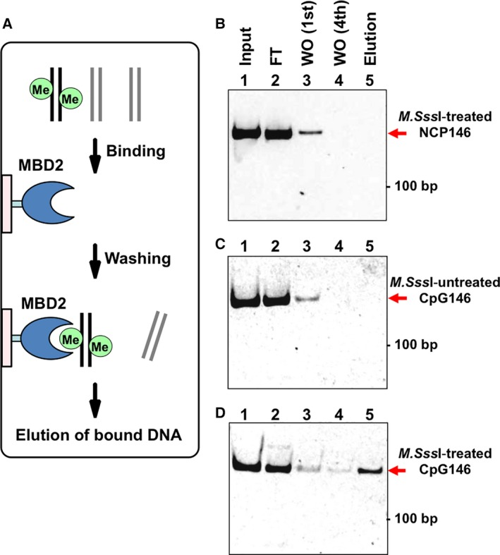 Binding analysis between MBD2 and nucleosomal DNAs. (A) Scheme of the binding analysis. (B–D) Results of the MBD2‐binding analysis. The nucleosomal DNAs used in the assay are as follows: (B) M.Sss I‐treated146‐bp α‐satellite DNA (NCP146); (C) M.Sss I‐untreated 146‐bp α‐satellite‐based DNA containing four CpG sites (CpG146); and (D) M.Sss I‐treated CpG146 DNA. Lane 1, Input nucleosomal DNA (125 ng); lane 2, flow‐through fraction after the incubation of nucleosomal DNA with immobilized MBD2; lane 3, wash fraction of the first washing step; lane 4, wash fraction of the fourth washing step; lane 5, eluted fraction. In each panel, the position of the 100‐bp DNA is indicated on the right, and the position of the nucleosomal DNA is indicated by a red arrow.