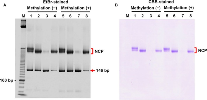 Native PAGE of the NCP samples used for crystallization. The positions of the NCPs and the free CpG146 DNAs are shown by red square brackets and a red arrow, respectively. (A) Ethidium bromide‐stained gel. (B) CBB‐stained gel. Lane M, 10‐bp DNA ladder (Thermo Fisher Scientific; cat. 10821‐015). Lanes 1–4, nucleosome core particles containing CpG146 DNA untreated with CpG methyltransferase M.Sss I. Lanes 5–8, nucleosome core particles containing CpG146 DNA treated with M.Sss I. Lanes 1 and 5, NCP samples after reconstitution and dialysis. Lanes 2 and 6, NCP samples after heat treatment. Lanes 3 and 7, supernatant fractions of MgCl 2 ‐treated NCP samples. Lanes 4 and 8, precipitated fractions of the MgCl 2 ‐treated NCP samples that were used for crystallization.