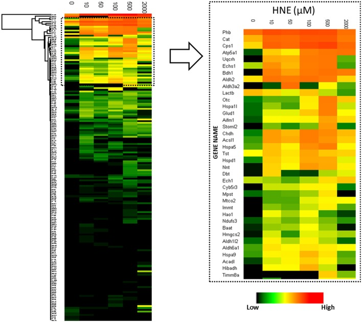 "Heatmap visualization of quantitative values of the 182 proteins enriched at the protein level . Left: heatmap of the 182 proteins identified and quantified over all six HNE exposure groups; Right: Zoomed-in region of the heatmap focusing on the most abundantly detected and identified putative HNE protein adducts. After affinity capture, samples were trypsin-digested and analyzed using LC-MS. Protein quantification was based on the peak intensity of the 3 most intense peptides. A total of 182 proteins were quantified. From top to bottom the 182 identified proteins are listed and each row represents a protein and its corresponding abundance. From left to right, HNE concentrations that were used for the in vitro exposure experiments of the mitochondrial protein samples. The color in each cell represents protein abundance obtained from the ""Hi3"" peptide intensity approach: red is more abundant and dark green is less abundant. Black indicates missing values."