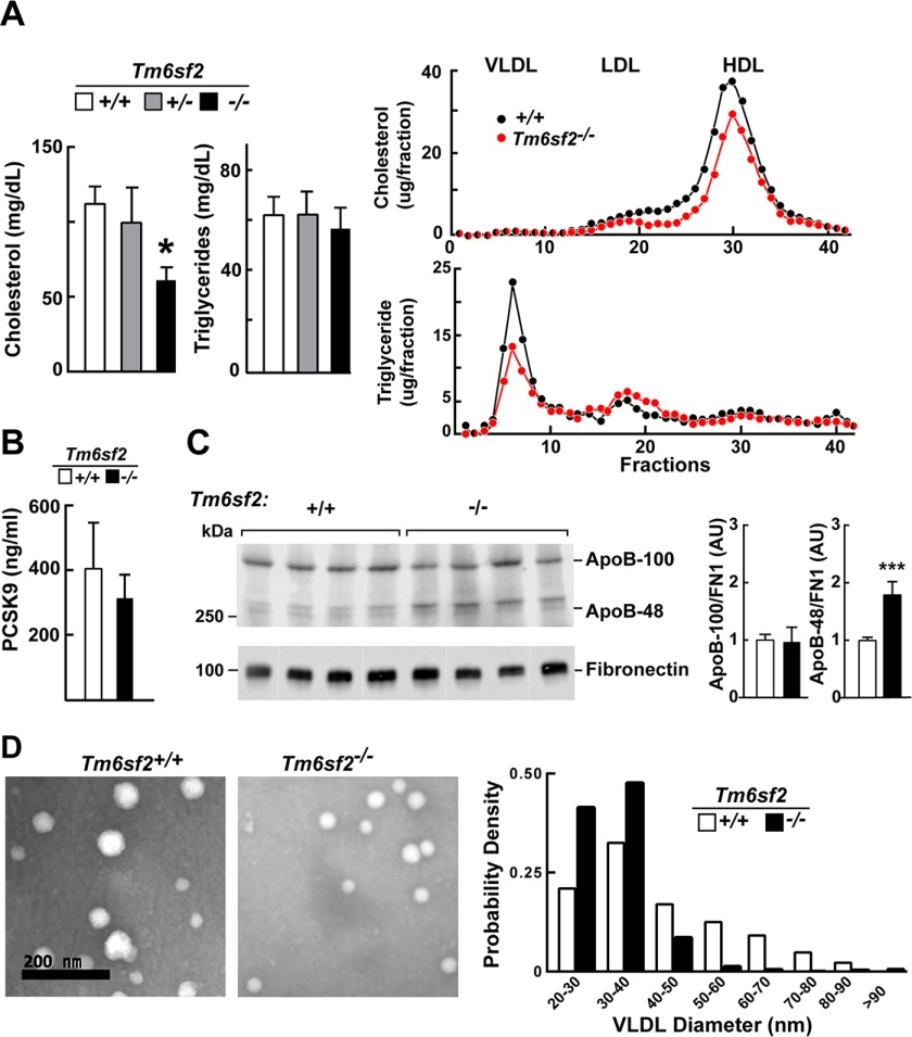 """Plasma levels of lipids, lipoproteins, PCSK9, and apoB in Tm6sf2 −/− mice. A ( left ), plasma TG and cholesterol levels were measured in chow-fed male WT, Tm6sf2 +/− , and Tm6sf2 −/− mice ( n = 5 mice/group, 13 weeks old) using enzymatic assays. A ( right ), fast protein liquid chromatography (FPLC) profiles of plasma samples pooled from WT and Tm6sf2 −/− mice (4 male mice/group, 10 weeks old). Cholesterol ( top ) and TG ( bottom ) were measured in each fraction. Experiments were repeated twice with similar results. B , levels of plasma PCSK9 in 11-week-old male chow-fed male mice. Mice ( n = 5) were metabolically synchronized for 3 days by fasting from 8:00 a.m. to 8:00 p.m. and refed overnight. Blood was collected after the last refeeding period (at 8:00 a.m.), and the plasma levels of PCSK9 were detected using an ELISA as described under """"Experimental Procedures."""" C , plasma (0.2 μl) was size-fractionated on a 4–12% gradient SDS-polyacrylamide gel, and levels of apoB-48 and apoB-100 were determined by immunoblotting analysis using a rabbit polyclonal antibody (Abcam, ab20737; 1:1,000) The signal was detected and quantified using a LI-COR Odyssey Fc imager. Fibronectin was used as a loading control. Values are means ± S.E. ( error bars ). D , VLDL particles from plasma of WT and KO female mice ( n = 3, 20 weeks old) were visualized by electron microscopy as described under """"Experimental Procedures."""" The size distribution of VLDL particles in 10 randomly selected images was analyzed and compared using ImageJ software as described under """"Experimental Procedures."""" *, p"""