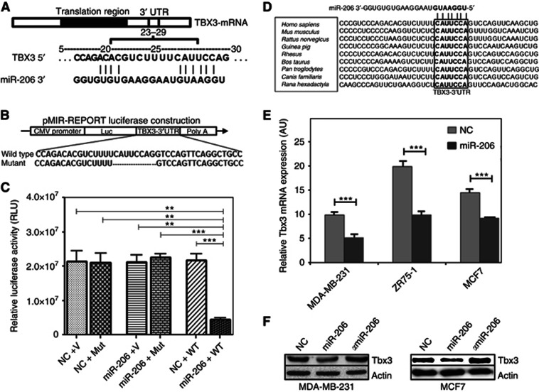 Tbx3 is a direct target of miR-206 in breast cancer cells, and restoration of miR-206 decreases Tbx3 mRNA and protein expression in breast cancer cells. ( A ) Putative miR-206 target site within the human Tbx3 3′ UTR as predicted by TargetScan and PicTar algorithms. ( B ) The miR-206 wild-type binding sequence or its mutated form was inserted into the C terminus of the luciferase gene to generate pMIR-TBX3-3′ UTR or pMIR-TBX3-mut-3′ UTR, respectively. ( C ) Bar plots showing relative luciferase activity in HEK-293T cells co-transfected with a luciferase reporter construct containing a fragment of the human Tbx3 3′ UTR encompassing the miR-206 binding site (Tbx3 3′ UTR) or empty vector (V), along with miR scrambled control (NC) or miR-206 for 48 h. Relative luciferase units were normalised to control β -gal reporter vector for transfection efficiency. ( D ) Sequence alignment showing the evolutionary conservation of the 3′ UTR of Tbx3 target site across different species. ( E ) Bar plots showing relative Tbx3 mRNA expression levels, in ZR75-1, MCF7 and MDA-MB-231 cells transfected with miR scrambled control (NC) or miR-206. Analysis for the Tbx3 message levels was performed by the comparative Ct method. Relative abundance was determined from the Ct values using the 2 −ΔΔCt method after normalisation to GAPDH. Results are representative of at least three independent experiments. ( F ) Western blot analysis of MDA-MB-231 and MCF7 cells transfected with miR scrambled control (NC), miR-206 or α miR-206 for 72 h. Beta-actin served as a loading control. Results are representative of three to five independent experiments. Means with error bars representing±s.e.m. ** P