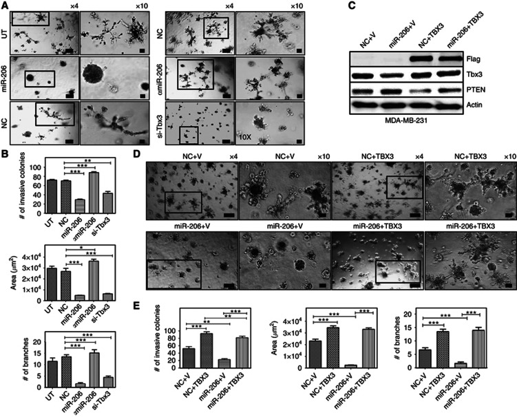 miR-206 expression and Tbx3 knock-down inhibits the 3D growth of breast cancer cells in Matrigel. Tbx3 lacking the 3′ UTR is not repressed by miR-206. ( A ) Phase-contrast images of MDA-MB-231 cells in 3D culture treated with miR-206, α miR-206 or siRNA-Tbx3 (si-Tbx3). Untreated (UT) and miR scrambled control (NC) treated cells were used as controls. ( B ) Bar plots represent the quantification of the number of invasive colonies, mean colony area and number of branching stellate cells. ( C ) Western blot analysis of MDA-MB-231 cells co-transfected with miR scrambled control with either empty vector (NC+V) or with flag-tagged TBX3 expression vector (NC+TBX3), and with miR-206 with empty vector (miR-206+V) or with flag-tagged TBX3 expression vector (miR-206+TBX3). Beta-actin was used as a loading control. ( D ) Phase-contrast images of MDA-MB-231 cells in 3D cultures and co-transfected with miR scrambled control (NC) or miR-206 with either empty vector (V) control or TBX3 expression vector (TBX3). ( E ) Bar plots showing the reduction in invasive phenotype of MDA-MB-231 cells as quantified by counting invasive colonies, mean colony area and the number of branching stellate cells. The results are representatives of three independent experiments. Scale bar: × 4 images, 200 μ m; × 10 images, 50 μ m. Means with error bars representing±s.e.m. * P