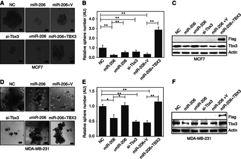 miR-206 exerts a tumour suppressive function and inhibits tumorsphere formation of breast cancer cells. Phase-contrast × 4 images of tumorspheres of ( A ) MCF7 and ( B ) MDA-MB-231 cells reverse-transfected with miR scrambled control (NC), miR-206, α miR-206, siRNA-Tbx3 (si-Tbx3), miR-206 plus empty vector (miR-206+V) or miR-206 plus TBX3 expression vector (miR-206+TBX3). Bar plots showing the relative sphere number of ( B ) MCF7 and ( E ) MDA-MB-231 cells corresponding to A and B , respectively. Relative sphere number was normalised to miR scrambled control (NC). Images are representative of spheres under the mentioned treatments at the secondary sphere stage. Western blot analysis of ( C ) MCF7 and ( F ) MDA-MB-231 cells co-transfected with miR scrambled control (NC), miR-206, α miR-206, siRNA-Tbx3 (si-Tbx3), miR-206 plus empty vector (miR-206+V) or miR-206 plus TBX3 expression vector (miR-206+TBX3). Beta-actin was used a loading control. Scale bar: 200 μ m. Means with error bars representing±s.e.m. * P