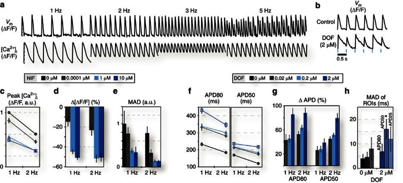 Dynamic functional drug testing. A demonstration of the utility of OptoDyCE for spatio-temporal characterization. Dynamic pacing provides a means of studying pacing-induced V m and Ca 2+ restitution and instabilities ( a ), or drug-induced instabilities, that is, 2 μM dofetilide leading to voltage alternans at relatively low pacing frequency (2 Hz) ( b ). High-content dynamic information is obtained from a single data run ( c – h ). For example, restitution and temporal or spatial variability (quantified by MAD) are shown as function of both drug dose and pacing frequency for peak calcium in the presence of nifedipine ( c – e ) and for APD in the presence of dofetilide ( f , g ). Nifedipine action on peak calcium (per cent change) is dose-dependent but frequency-independent ( c , d ). Nifedipine appears to reduce temporal variability of peak calcium (assessed by MAD), and this reduction is augmented by higher frequency pacing ( e ). Dofetilide shows enhanced action on APD50 at higher frequency (opposite to reverse-use dependence) ( f , g ). Spatial variation as a function of drug dose can also be assessed by analysing multiple ROI within the same well ( h ) (see also Supplementary Figs 5–6 ). Dofetilide at 2 μM seems to increase spatial variability in APD, that is, increase dispersion of repolarization, compared with control during 1-Hz pacing ( P