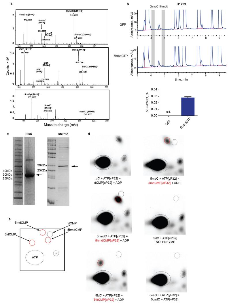 DNA polymerase and nucleoside kinase activities on modified nucleosides a , MS confirmation of 5hmdC, 5fdC and 5cadC in the purchased nucleosides. b , HPLC-UV chromatogram of nucleosides from DNA extracted from H1299 cells transfected with 5hmdCTP. The abundance of 5hmdC relative to dG is illustrated in the right panel (n=3, standard deviation is shown, n.d.= not detected). c , Coomassie-stained SDS-PAGE gel of recombinant purified DCK and CMPK1 enzymes used in the study. d , Two-dimensional TLC images of DCK reaction products. Dotted lines indicate reference points, which aid in tracking the migration localisation of the nucleosides. The monophosphate in each reaction is circled in red (representative picture, n=3). e , schematic map of nucleoside migration on two dimensional TLC plate (* indicates a background spot coming from ATP and used as a reference point)