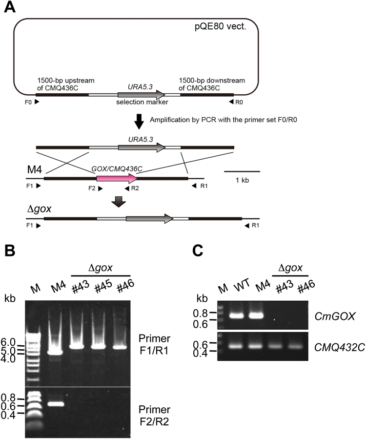 Generation of a Δ gox knockout mutant in C. merolae . ( A ) Schematic presentation of the strategy to generate a knockout mutant for CmGOX . For detailed information see 'Materials and methods'. ( B ) Verification of Δ gox mutant lines #43, #45, and #46. PCR was performed on genomic DNA of the M4 background mutant and the Δ gox mutant lines #43, #45, and #46 with primers flanking the CmGOX upstream and downstream regions (F1/R1) and the CmGOX coding region (F2/R2), respectively. Expected fragment sizes were F1/R1: 4.5kb (M4), 6kb (Δ gox ); F2/R2: 0.66kb (M4), – (Δ gox ). ( C ) Verification of absence of CmGOX transcripts in the Δ gox knockout lines #43 and #46. RT-PCR analysis was performed on cDNA isolated from WT, M4 background mutant, and the Δ gox mutant lines #43 and #46 with primers flanking the CmGOX coding region (F2/R2). Transcripts from the CMQ432C locus adjacent to the CmGOX locus were used as a control. Expected fragment sizes are CmGOX : 698bp; CMQ432C : 520bp.