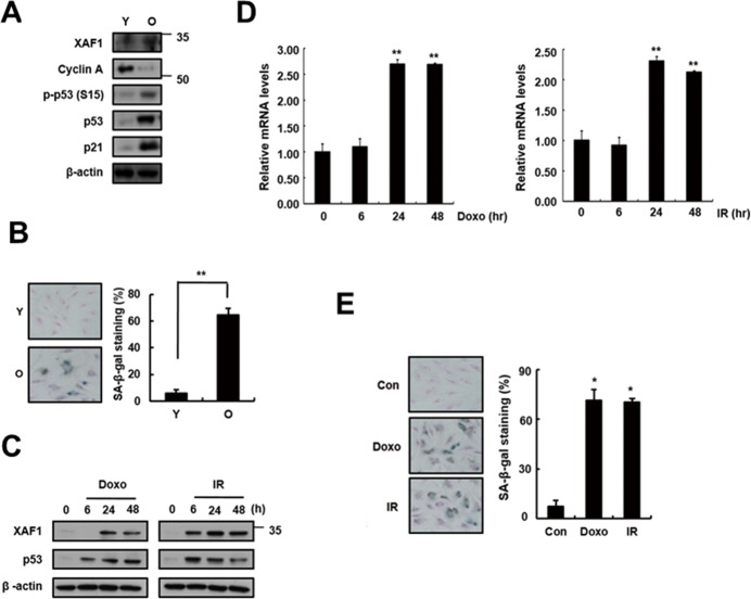 Increase in XAF1 expression in cellular senescence A. XAF1 protein expression levels XAF1 were analyzed by Western blotting with antibodies against XAF1 and GAPDH (loading control) in aged HMVECs. The levels of cyclin A, phospho-p53(S15), p53, p21 and β-actin proteins were detected by Western blot analysis. The figure shows representative data from three independent experiments. B. Percentages of SA-β-gal positive cells analyzed in young and old HMVECs. ** p