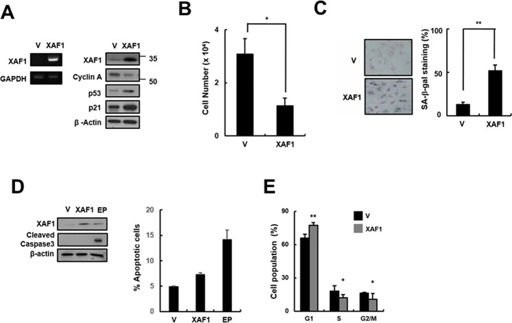Effects of XAF1 on the upregulation of cellular senescence in young HMVECs A. Young cells were transduced with XAF1 or negative control lentiviruses and incubated for 3 days. XAF1 mRNA expression levels were measured by semi-quantitative PCR and XAF1, cyclin A, p53 and p21 protein levels were detected by Western blot analysis. B. Cell proliferation was measured by cell counting and C. the percentages of SA-β-gal positive cells were analyzed. * p