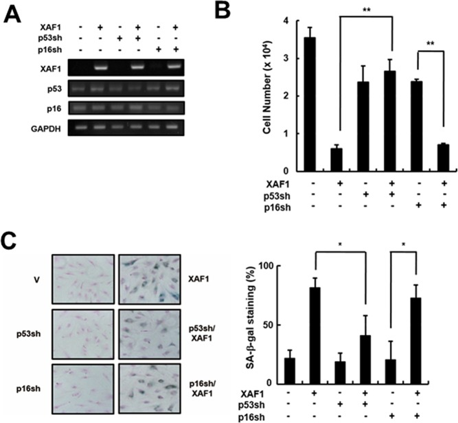 Effects of p53 or p16 knockdown on cell growth arrest induced by XAF1 A. Cells were transduced with p53- or p16-shRNA retroviruses and incubated for 2 days. P53 and p16 knockdown was confirmed by RT-PCR analysis. The p53- or p16-downregulated cells were transduced with XAF1 or negative control lentiviruses and incubated for 2 days. Cell proliferation was measured by B. cell counting for 2 days and C. SA-β-gal staining (100x). Values are expressed as the mean ± SD of three independent experiments. Representative data from three independent experiments are shown. * p