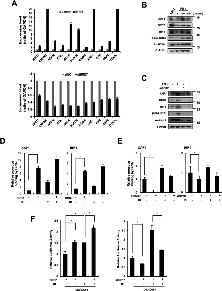 Transcriptional regulation of <t>XAF1</t> by BRD7 A. XAF1 was upregulated with BRD7 lentivirus or downregulated with BRD7 siRNAs in HMVECs. BRD7, CMPK2, ASPM, STIL, SQLE, PLAC8, RIOK2, XAF1, CFB, CBF4 and DTX3L expression levels were analyzed by real <t>time-PCR.</t> Each of the expression levels were normalized to GAPDH expression levels. B. Cells were transduced with BRD7 lentivirus or treated with 0, 20 or 100 ng/ml interferon-gamma (IFN-γ) for 24 h. XAF1, BRD7, IRF1, phospho-p53 and Ac-H3K9 protein levels were detected by Western blot analysis. C. Cells were transfected with BRD7 siRNAs and treated with IFN-γ for 24 h. XAF1, BRD7, IRF1 and phsopho-p53 protein levels were detected by Western blot analysis. D. Cells were transduced with BRD7 lentivirus or transfected with BRD7 siRNAs. Each of cells was treated with 4 Gy IR for 24 h. Chromatin immunoprecipitation (ChIP) assay was performed using the anti-BRD7 antibody and the immunoprecipitated DNA was amplified using primers for p53, IRF1 or XAF1. E. The cells were transfected with the luciferase reporter constructs containing the XAF1 promoter. XAF1 promoter activity in BRD7-expressed cells was determined by luciferase analysis. * p