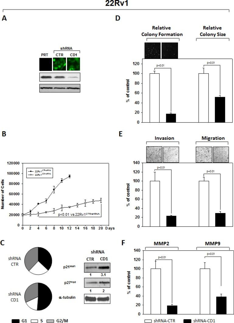 Stable and Specific Silencing of cyclin D1 inhibits 22Rv1 onco-phenotype ( A ) Parental 22Rv1 (PRT), GFP-positive 22Rv1 cells, stably infected with shRNA-cyclin D1 (CD1) vs. shRNA-control (CTR) sequence (CTR), were selected by FACS sorting and examined for cyclin D1 protein expression by immunoblotting. ( B ) Cell growth assay, ( C ) cell cycle distribution by FACS and p21 waf1 , p27 KIP2 by immunoblotting, ( D ) soft agar assay and relative colony size, ( E ) invasion- and migration-assay and ( F ) the activation status of MMP-2 and MMP-9 by ELISA assay were performed. The data presented in Figure 1B, 1C, 1D, 1E and 1F represent the mean ± SD of 3 independent experiments. Statistical analysis was performed using the Student's t -test, P