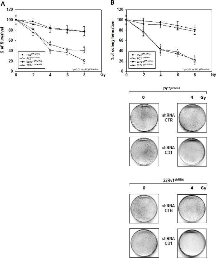 Silencing cyclin D1 radiosensitizes PC3 and 22Rv1 cell lines in vitro shRNA-cyclin D1- (CD1) and shRNA-control-transduced (CTR) PC3 and 22Rv1 cells were irradiated with various doses (0–8 Gy): ( A ) MTT and ( B ) (Upper Panel) colony formation assays were performed. The data presented in Figure 3A and 3B Upper Panel represent the mean ± SD of 3 independent experiments. Statistical analysis was performed using the Student's t -test, P