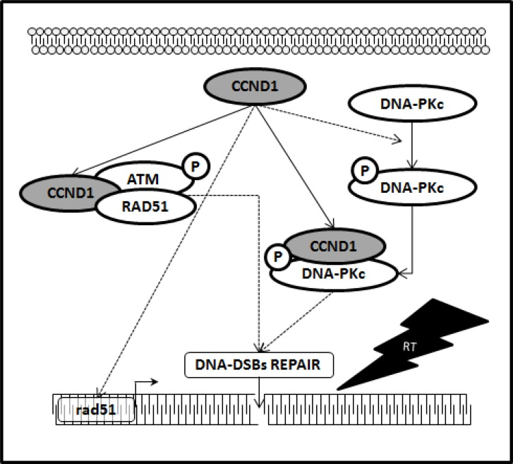 Cyclin D1 promotes NHJE and HR pathways responsible of DNA-DSBs repair Schematic representation depicting the collaboration of cyclin D1 with the molecular pathways responsible for the DNA-DSBs repair. In dashed line, the molecular mechanism by which it is necessary to verify whether the action of cyclin D1 is direct or mediated by other factors.
