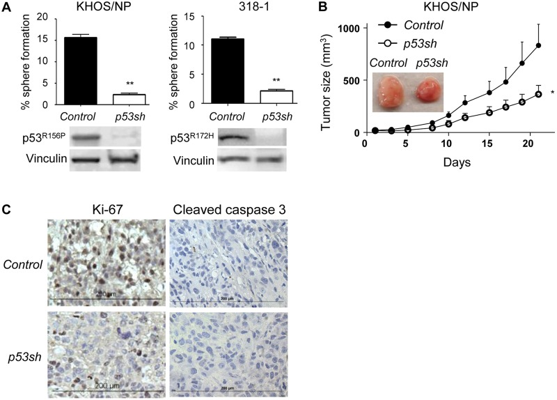 Mutp53 downregulation by p53 shRNA inhibited malignant properties of cancer cells A. Sphere formation assays were performed using KHOS/NP (p53 R156P ) and 318-1 (p53 R172H ) cells infected with control empty or p53 shRNA-encoding lentiviral vectors. Graph showing % of sphere formation (# of spheres formed/# of cells seeded) and representative western blotting for p53 and Vinculin is below the graphs. B. Control ( Control , filled circle) or p53-downregulated ( p53sh , open circle) KHOS/NP cells (1,000,000) were subcutaneously injected into NIH-III nude mice, and tumor sizes were measured three-dimensionally 3-4 times a week for 3 weeks ( n = 6). Representative images of formed tumors are shown in the panel. Error bars: means ± S.D. * P