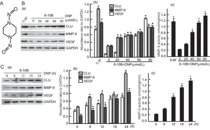 DNP induces expressions of CLU, MMP-9 and VEGF A. Structure of DNP, an N-nitroso compound. B. 6-10B cells were treated with the indicated concentration of DNP for 24 h. C. 6-10B cells were treated with 80 μmol/L DNP for the indicated time. CLU, MMP-9 and VEGF expressions in the DNP-treated cells were detected using Western-blotting (a). Three independent experiments were carried out, abundance ratio to GAPDH was counted, and data are represented as mean ±S.D. from three experiments (b). MMP-9 activity was measured using Fluorescent assay (c). DNP, N,N′-Dinitrosopiperazine; CLU, clusterin; MMP-9, matrix metalloproteinases 9; VEGF, vascular endothelial growth factor. * p
