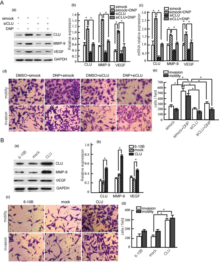DNP-induced NPC cell invasion and motility through CLU A. 6-10B cells were transiently transfected with siCLU or simock, and then treated with DNP. CLU, MMP-9 and VEGF expressions were detected in the transfected cells with or without DNP treatment using Western-blotting (a), and the abundance ratios to GAPDH were calculated (b). RNA transcriptions of CLU, MMP-9 and VEGF were analyzed using qRT-PCR (c). The motility and invasion of 6-10B-siCLU and 6-10B-simock were measured using Boden chamber invasion assay (d), and the invaded cells were counted (e). B. 6-10B cells were transfected with pcDNA3.1 (mock) or pcDNA3.1-CLU (CLU), and the stable cell lines 6-10B-mock and 6-10B-CLU were obtained using G418 selection. CLU, MMP-9 and VEGF expression were detected in the cells using Western-blotting (a), and the abundance ratios to GAPDH were calculated (b). The motility and invasion of 6-10B-mock and 6-10B-CLU were measured using Boden chamber invasion assay (c), the invaded cells were counted (d). Data are presented as means±SD from three independent experiments. Results were analyzed by one-way ANOVA with post hoc Dunnett's test. DNP, N,N′- Dinitrosopiperazine; CLU, clusterin; MMP-9, matrix metalloproteinases; VEGF, vascular endothelial growth factor. * p