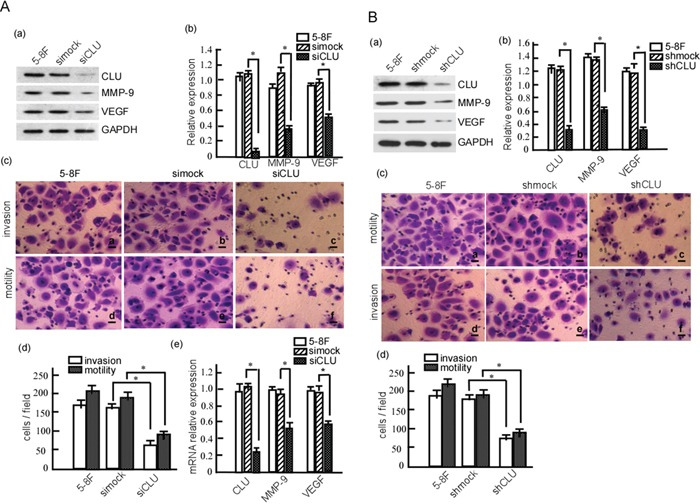 CLU knockdown reduces the invasion and metastasis of 5-8F cell A. 5-8F cells were transiently transfected with siCLU or simock. MMP-9 and VEGF expression were detected in these cells using Western-blotting (a), and the abundance ratios to GAPDH were calculated (b). Motility and invasion of the transfected cells were measured using Boden chamber invasion assay (c), and the invaded cells were counted (d). mRNA transcriptions of CLU, MMP-9 and VRGF were detected in the transfected cells using qRT-PCR (e). B. 5-8F cells were transfected with pSR-GFP/Neo -CLU-shRNA (shCLU) or pSR-GFP/Neo-NC -shRNA (shmock). 5-8F-shCLU and 5-8F-shmock stable-expressed cell lines were obtained using G418 selection. CLU, MMP-9 and VEGF expression were detected in the stable cells using Western-blotting (a), and the abundance ratios to GAPDH were calculated (b). The motility and invasion of 5-8F-shCLU and 5-8F-shmock were measured using Boden chamber invasion assay (c), and the invaded cells were counted (d). Data were from three independent experiments, expressed as means±SD. * p
