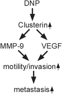 Schematic illustration of DNP-promoted nasopharyngeal carcinoma metastasis through CLU DNP induces CLU expression, binds to and increases MMP-9 and VEGF expression, increases motility and invasion of NPC cancer, and promotes NPC metastasis.
