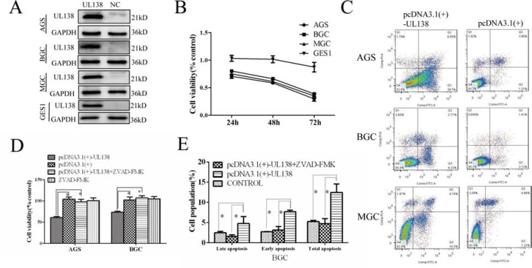 Overexpression of pUL138 inhibits cell viability and induced apoptosis in different gastric cancer cell lines ( A ) Cells transfected with pcDNA3.1(+)-UL138 plasmids (UL138) and pcDNA3.1(+) plasmids (NC) were detected by Western blot at 48 hr post transfection. ( B ) Relative cell viability of GC cells when transfected with pcDNA3.1(+)-UL138 compared with pcDNA3.1(+). Cell proliferation was measured at indicated times post transfection. ( C ) Apoptosis assay by flow cytometry with annexin V-FITC/PI double-staining. GC cells transfected with pcDNA3.1(+)-UL138 present larger population of apoptosis compared with pcDNA3.1(+) at 48 hr post transfection. The dual parameter fluorescent dot plots were sorted as viable cells in the lower left quadrant, and apoptotic cells in the right quadrant. ( D ) UL138-caused inhibition of gastric cancer cells was reversed by a broad-spectrum caspase inhibitor z-VAD-FMK (ZVAD). AGS and BGC-823 cells were transfected with pcDNA3.1(+)-UL138 or pcDNA3.1(+) and ZVAD was added at the same time. At 48 hr post infection, cell proliferation was counted by a CCK-8 test and normalized by control cells (without transfection). Data was presented as means ± SEM of three independent tests. *P