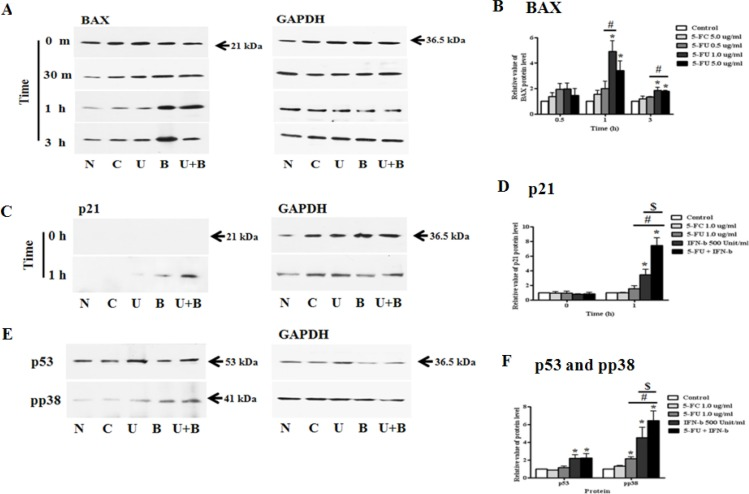 Synergistic effect of 5-fluorouracil (5-FU) and human interferon-beta (IFN-β) for treating MDA-MB-231 cells MDA-MB-231 cells were co-treated with 5-FU 1.0 μg/ml and IFN-β 500 Unit/ml for different lengths of time. Cell lysates were used for immunoblotting analysis and incubated with primary antibodies, BAX, <t>p21</t> <t>(Cip1/Waf1),</t> p53, and phospho-p38. ( A ) Expression of BAX protein. ( B ) The relative value of BAX protein. ( C ) Expression of p21 <t>(Cip1/Waf1)</t> protein. ( D ) The relative value of p21 (Cip1/Waf1) protein. ( E ) Expression of p53 and pp38 protein. ( F ) The relative value of p53 and pp38 protein. N: negative control (no treatment with 5-FU or 5-FC), C: 5-FC treatment (1.0 μg/ml), U: 5-FU treatment (1.0 μg/ml), B: IFN-β treatment (500 Unit/ml), U + B (5-FU 1.0 μg/ml and IFN-β 500 Unit/ml co-treatment). Data are presented as the mean ± SD of three different experiments each performed in triplicate. * p