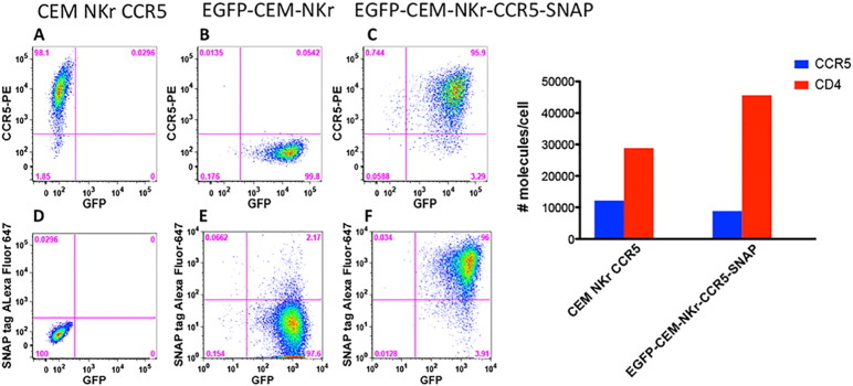 Generation and characterization of EGFP-CEM-NKr-CCR5-SNAP cells. Left panel. EGFP-CEM-NKr-CCR5-SNAP cells were generated by stable transfection of EGFP-CEM-NKr cells with Tag-lite pSNAP-CCR5 vector (pSNAP-CCR5, htfr). A–C. GFP and CCR5 expression in parental CEM-NKr-CCR5, EGFP-CEM-NKr and transfected EGFP-CEM-NKr-CCR5-SNAP cells. D–F. Labeling with surface SNAP tag-Alexa Fluor-647 dye vs. GFP expression in the three cell lines. Right panel. The levels of CCR5 and CD4 molecules expressed on EGFP-CEM-NKr-CCR5-SNAP cells in comparison to CEM NKr CCR5 were assessed by flow cytometry with Quantibrite PE calibration beads.