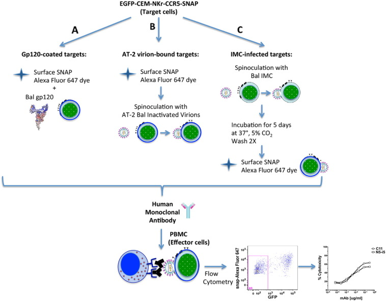 Schematic representation of the new RFADCC assay outline conducted with EGFP-CEM-NKr-CCR5-SNAP cells. The optimized assay was modified from Gomez-Roman et al. (2006) . A. For gp120-based ADCC assay, EGFP-CEM-NKr-CCR5-SNAP cells were stained with SNAP-Surface Alexa Fluor 647 for 20 min at 37 °C with or without monomeric HIV-1 gp120. B. For AT-2 inactivated virus-based ADCC assay EGFP-CEM-NKr-CCR5-SNAP cells were stained with Alexa Fluor 647-SNAP tag dye first and then spinoculated with the inactivated virus. C. For IMC-infected targets-based ADCC assay, EGFP-CEM-NKr-CCR5-SNAP were spinoculated with IMC, cultured for 5 days, washed twice and then stained with Alexa Fluor 647-SNAP tag dye. Sensitized cells were incubated with dilutions of antibodies for 15 min at room temperature (RT) and subsequently with PBMC as effector cells for 2 or 3 h at 37 °C. Cells were then washed and fixed in 1% paraformaldehyde. The readout is the loss of GFP, as a direct measure of the percentage of target cells cytotoxicity mediated by the mAbs. After coating with monomeric HIV-1 Bal gp120 and adding PBMC as effector cells, we measured the ADCC activity of a reference HIV-1 mAb, C11. The cytotoxicity readout in the original RFADCC was measured as loss of CSFE, while in the modified RFADCC it was the loss of GFP.