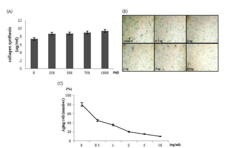 The effect of the bovine collagen on skin fibroblast metabolism. (A) Collagen synthesis. (B) The senescent skin fibroblast were observed under a fluorescent microscope after cells were stained with senescent cells histochemical staining kit (×200). (C) Aged cells were numbered.