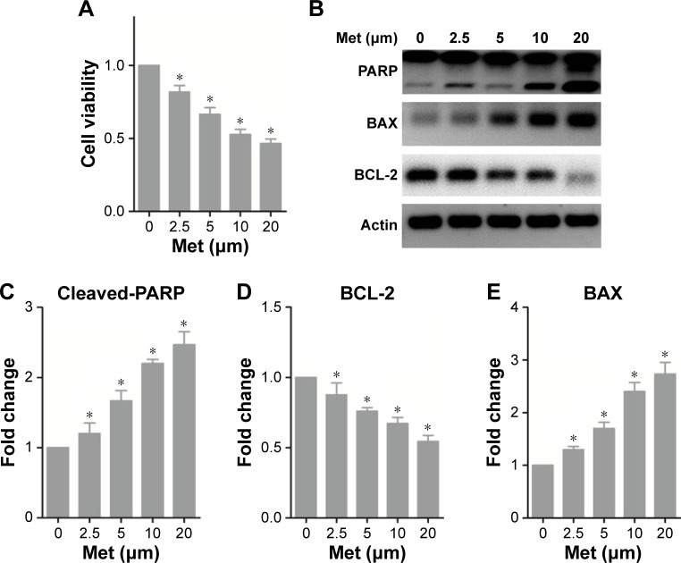 Metformin induces apoptosis in HepG2 cells. Notes: ( A ) The effect of various doses of metformin (Met) on cell viability. Cells were treated with metformin for 72 hours, and the cell viability was measured by MTT assay. ( B ) The effect of metformin on PARP cleavage and BAX and BCL-2 expression under metformin treatment. The protein expression was determined by Western blot analysis; the band density was statistically shown in the histogram in ( C ), ( D ), and ( E ). * P