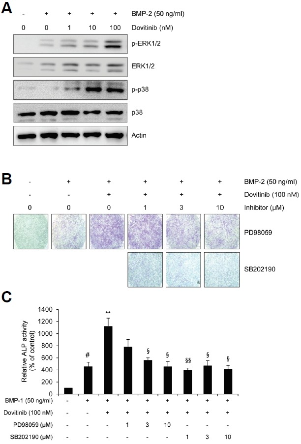Dovitinib activates MAPK signaling pathways in BMP-2-induced osteoblast differentiation. The C2C12 cells were treated with BMP-2 (50 ng/ml) ± dovitinib for 10 minutes. (A) The phosphorylation of ERK1/2 and p38 was measured by Western blot analysis. Actin was used as a loading control. (B, C) The C2C12 cells were treated with PD98059 or SB202190 in the presence of BMP-2 (50 ng/ml) and dovitinib (100 nM) for 3 days. The effect of inhibitors on the BMP-2-induced osteoblast differentiation was detected by the induction of ALP activity in C2C12 cells. Experiments were performed in triplicate. Scale bars represent 100 μm.