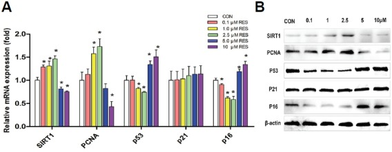 RES regulates the gene and protein expression of SIRT1, PCNA, p53, p21, and p16. (A) qRT-PCR results of the mRNA level of SIRT1, PCNA, p53, p21 and p16 in RES treated cells was normalized by housekeeping gene GAPDH correspondingly and quantified relative to that of the control. Data shown are the mean values of three repeats. Error bars represent standard deviation. * p